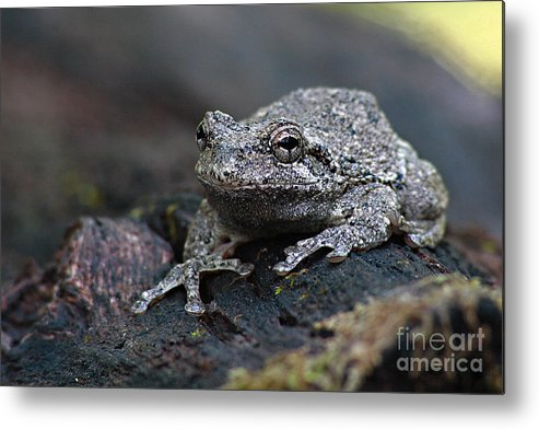 Frog Metal Print featuring the photograph Gray Treefrog On A Log by Max Allen
