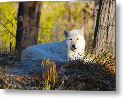Metal Print featuring the photograph Gray Wolf by Christina Valentine