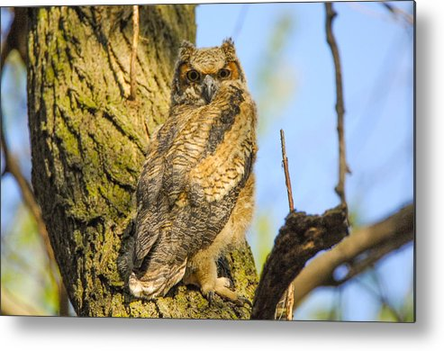 Owl Metal Print featuring the photograph Great Horned Owl Fledgling by Robert Smice