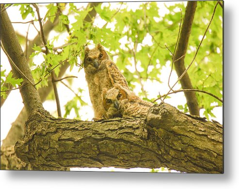 Owl Metal Print featuring the photograph Great Horned Owl Fledglings by Robert Smice