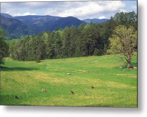 National Park Metal Print featuring the photograph Great Smoky Mountains Deer Grazing In Field by John Burk