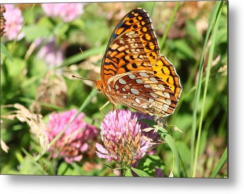 Wildlife Metal Print featuring the photograph Great Spangled Frittilary by John Burk