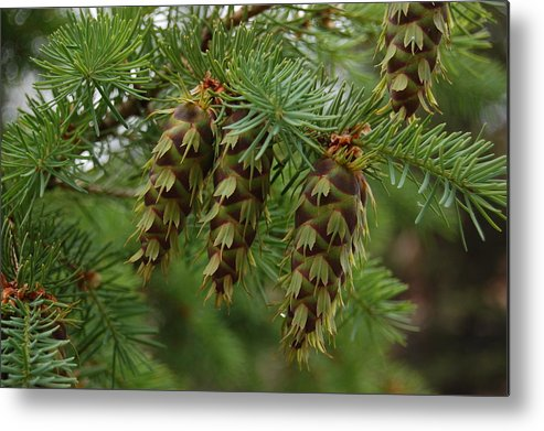 Green Metal Print featuring the photograph Green Pine Cones by Nikki Taylor