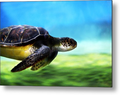 Green Metal Print featuring the photograph Green Sea Turtle 2 by Marilyn Hunt