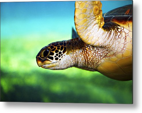 Green Metal Print featuring the photograph Green Sea Turtle by Marilyn Hunt