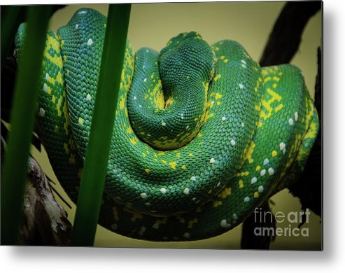 Exotic Metal Print featuring the photograph Green Tree Python by Jonas Luis