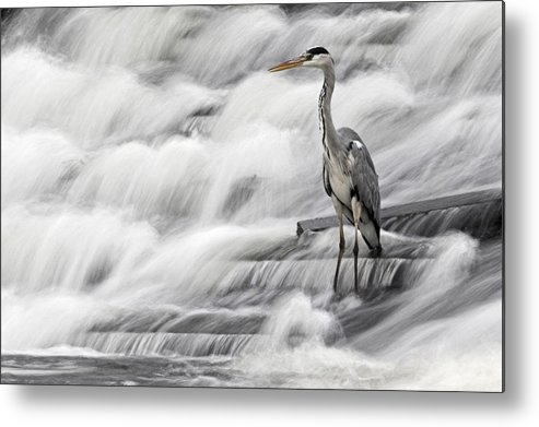 Grey Heron Metal Print featuring the photograph Grey Heron Fishing In Annacotty Waterfall Ireland by Pierre Leclerc Photography
