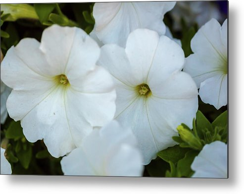 Group Metal Print featuring the photograph Group Of White Flowers by Ken Hurst