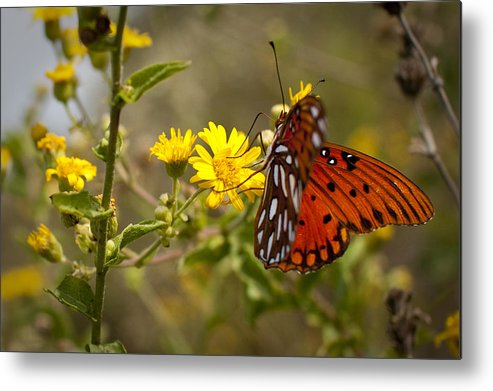 Gulf Fritillary Metal Print featuring the photograph Gulf Fritillary Agraulis Vanillae Red Butterfly by Dustin K Ryan