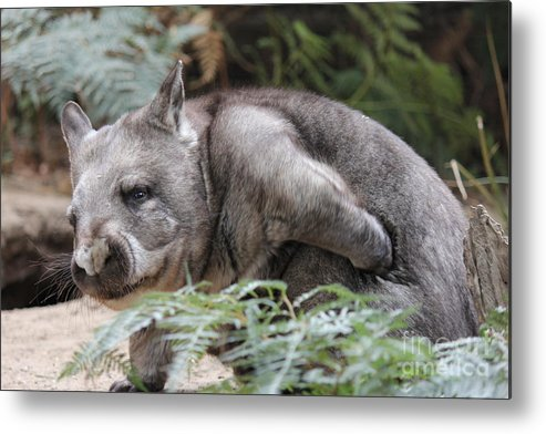 Australian Metal Print featuring the photograph Hairy-nosed Wombat by Roo Printz