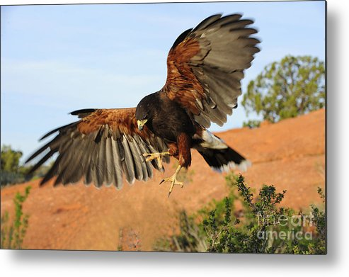 Bird Metal Print featuring the photograph Harris Hawk On The Wing by Dennis Hammer