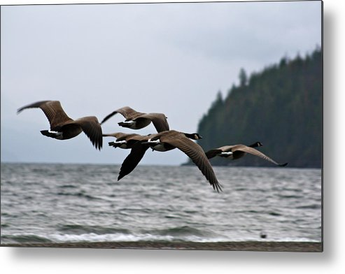 Heading Metal Print featuring the photograph Heading South by Cathie Douglas