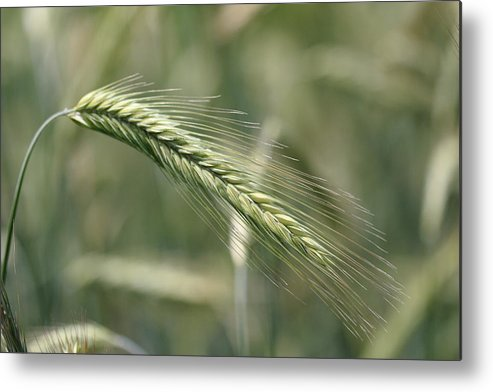 Weat Metal Print featuring the photograph Healthy Whole Wheat by Pierre Leclerc Photography