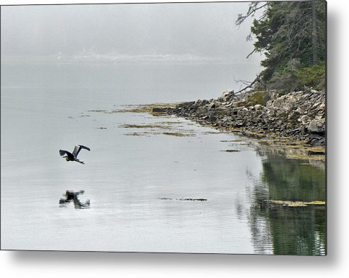 Heron Metal Print featuring the photograph Heron Off Ship's Harbor Cove by Jack Goldberg