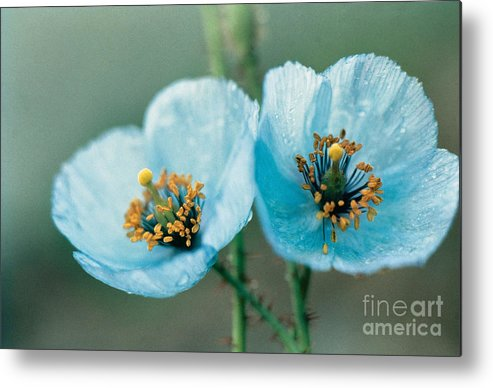Flower Metal Print featuring the photograph Himalayan Blue Poppy by American School