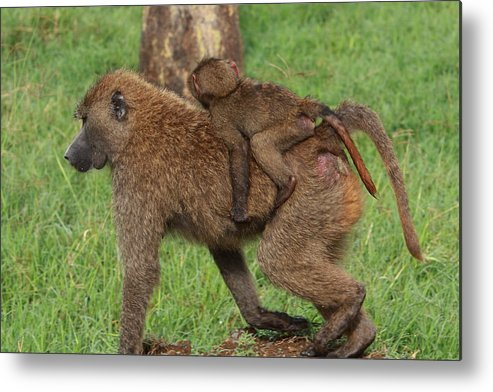 Baboon Metal Print featuring the photograph Hitching A Ride by Aidan Moran
