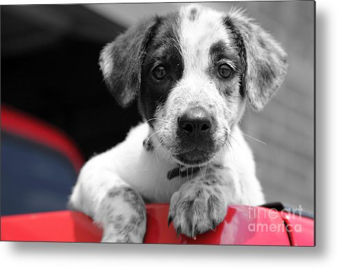 Dogs Metal Print featuring the photograph Hmmm by Amanda Barcon