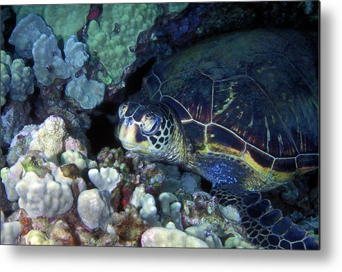 Green Sea Turtle Metal Print featuring the photograph Honu, Green Sea Turtle 2 by Pauline Walsh Jacobson