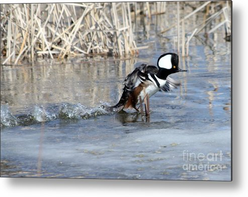 Hodded Metal Print featuring the photograph How About A Danece by Lori Tordsen