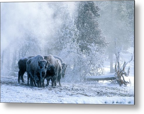 Yellowstone Metal Print featuring the photograph Huddled For Warmth by Sandra Bronstein