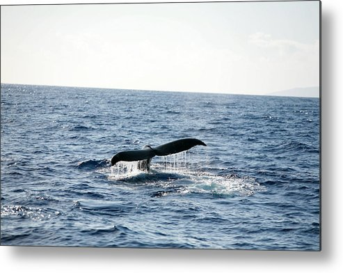 12 To 16 Metres Metal Print featuring the photograph Humback Whale by Michael Ledray