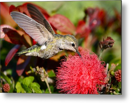 Hummingbird Photos Metal Print featuring the photograph Hummingbird And Red Flower by Paul Marto