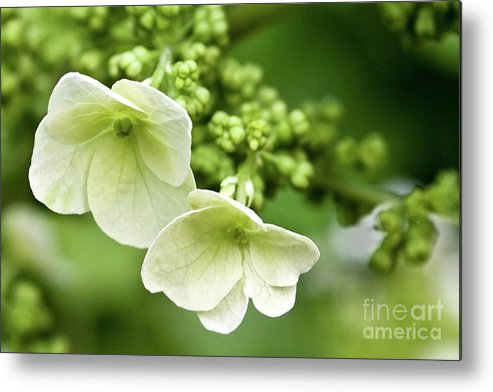 Angelini Metal Print featuring the photograph Hydrangea Buds Visit Www.angeliniphoto.com For More by Mary Angelini