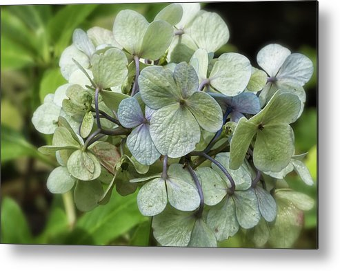 Hydrangea Metal Print featuring the photograph Hydrangea In Purple And Pale Yellow by Belinda Greb