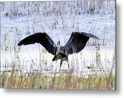 Great Blue Heron Metal Print featuring the photograph I Am The Greatest by Linda Burns