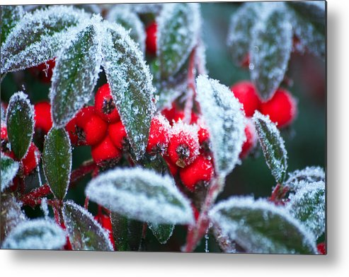 Winter Metal Print featuring the photograph Ice Berries by Dave Perks
