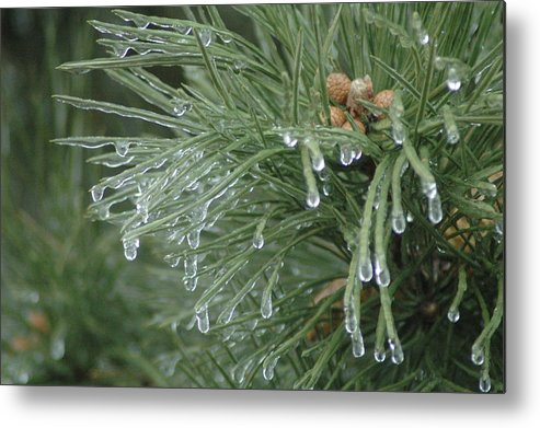 Nature Metal Print featuring the photograph Iced Pine by Kathy Schumann