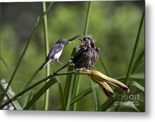 Baby Bird Metal Print featuring the photograph Im Hungry 6 by E Mac MacKay