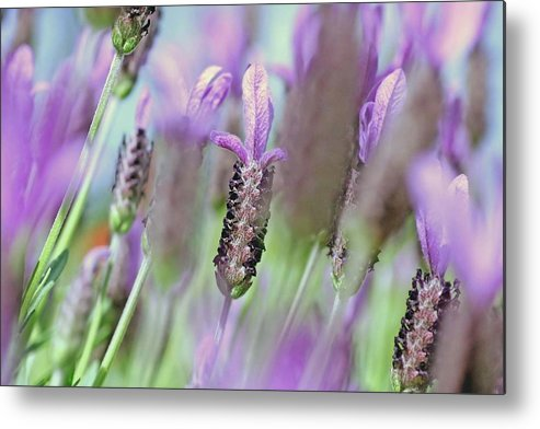 Plants Metal Print featuring the photograph Impressionist Lavender by Tony Brown