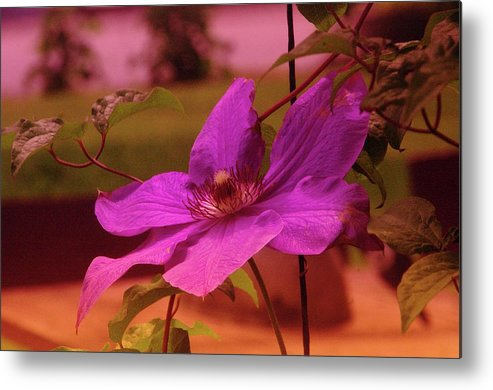 Floral Metal Print featuring the photograph In Full Blue Blossom by Jeff Swan