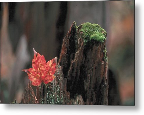 Red Leaf Metal Print featuring the photograph In The Forest by Douglas Pike