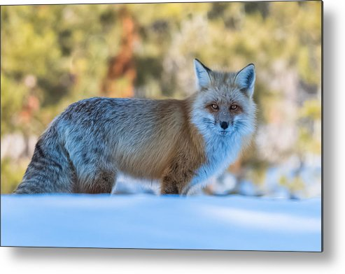 Red Fox Metal Print featuring the photograph In The Shadows by Yeates Photography