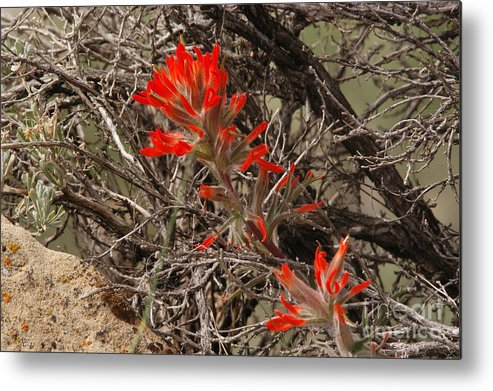 Brush Metal Print featuring the photograph Indian Paint Brush by Greg Payne