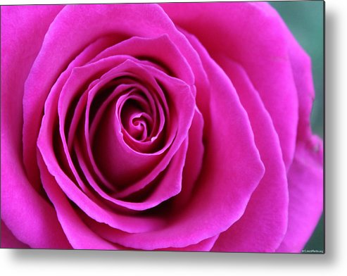 Rose Metal Print featuring the photograph Into The Rose by Laura Martin