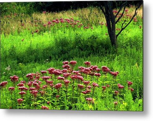 Wildflowers Metal Print featuring the photograph Joe Pye Weed by Roger Soule