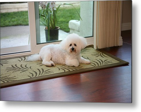 Animal Metal Print featuring the photograph Jolie The Bichon Frise by Michael Ledray