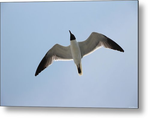 Blue Metal Print featuring the photograph Jonathan Livingston by Laura Martin