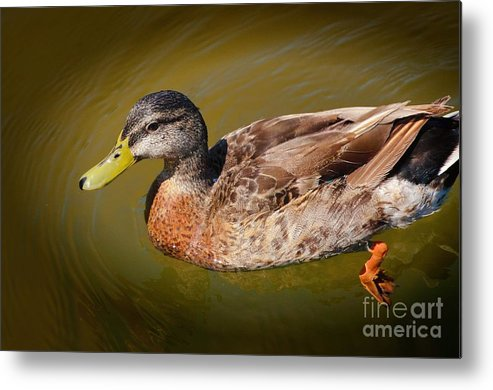 Duck Metal Print featuring the photograph Just Ducky by Pamela Blizzard