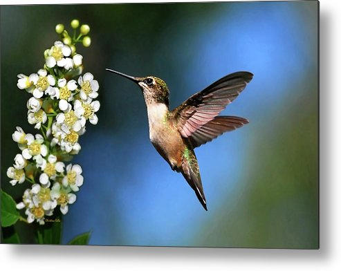 Hummingbird Metal Print featuring the photograph Just Looking by Christina Rollo