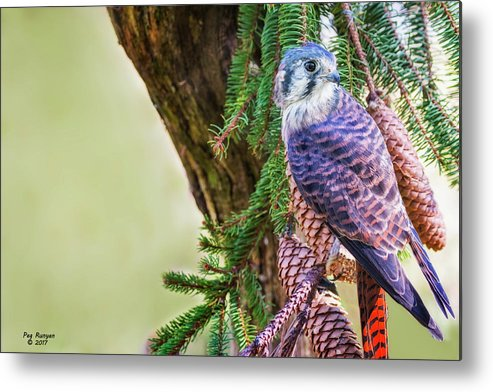 Kestrel Falcon Metal Print featuring the photograph Kestrel On The Cones by Peg Runyan