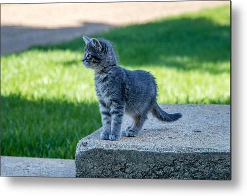 Kitten Metal Print featuring the photograph Kitten 1 by Chad Rowe
