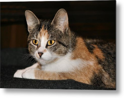 Calico Cat Metal Print featuring the photograph Kitty by Roxanne Jones