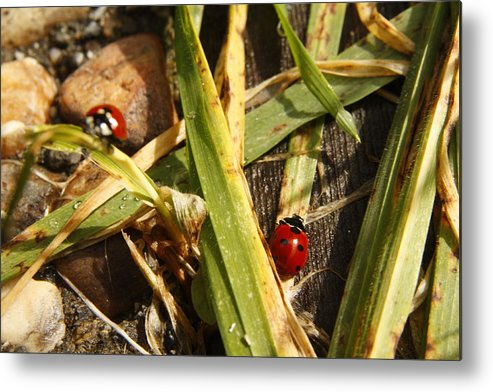 Lady Bug Metal Print featuring the photograph Lady Bugs by Andrew Hanson