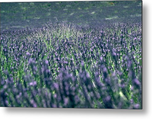 Lavender Metal Print featuring the photograph Lavender by Flavia Westerwelle