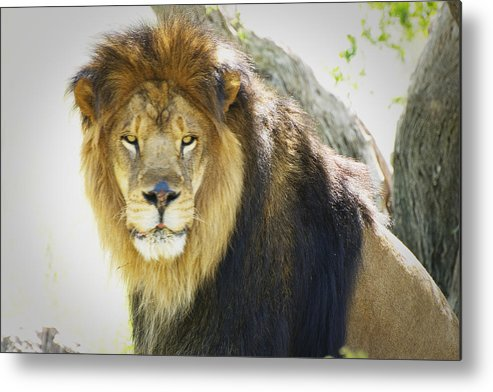Lion Metal Print featuring the photograph Leo by Richard Henne