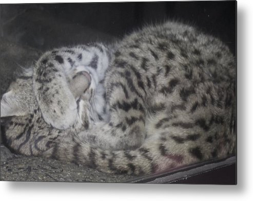 Cat Metal Print featuring the photograph Leopard Kitten by Misty VanPool
